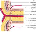 Anatomie der Papille