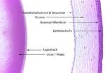 Phako und Cornea, Anatomie der Hornhaut